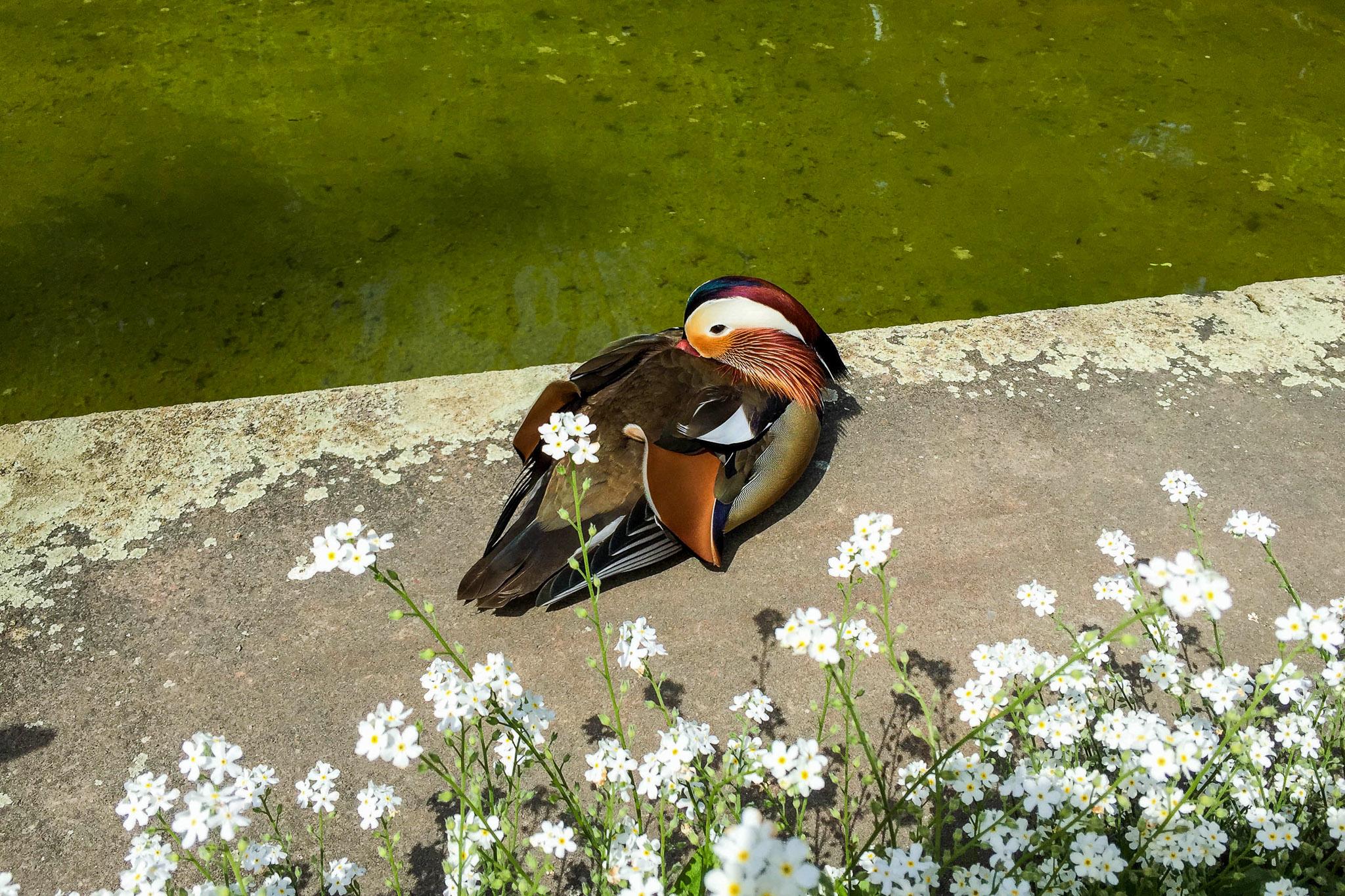 Polish duck