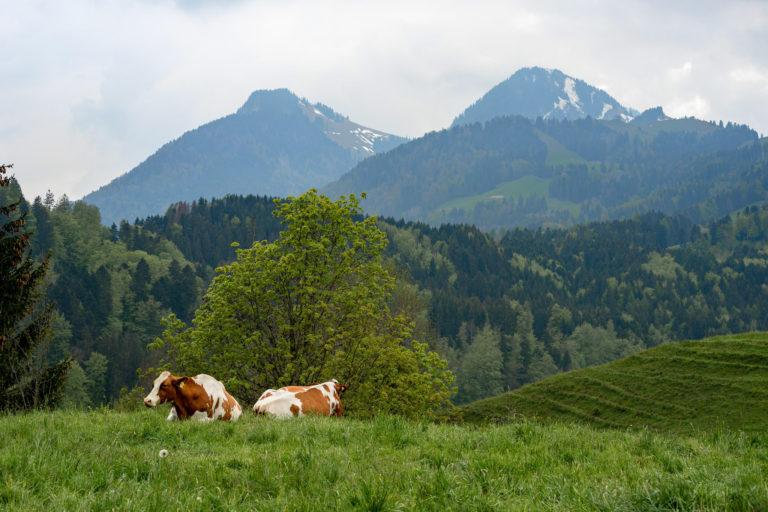 Gruyères cows